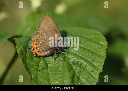 A stunning rare Black Hairstreak Butterfly (Satyrium pruni) perching on a leaf. - Stock Photo