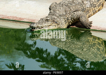 Nile Crocodile - Crocodylus Niloticus - entering the water showing reflections. - Stock Photo