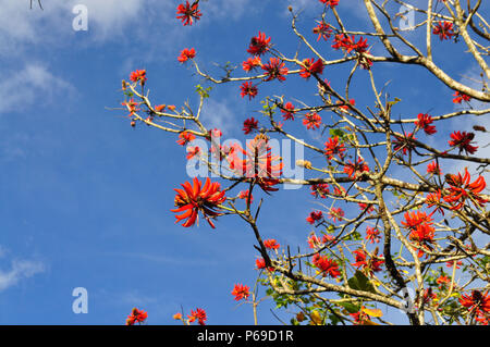 Beautiful  Red flower of indian coral tree, blue sky as back ground  at Munnar, Kerala, india - Stock Photo