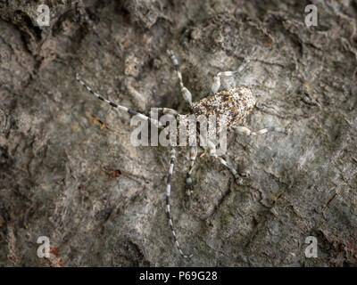 A small longhorn beetle (Aegomorphus clavipes) sitting on the trunk of a beech tree (Vienna, Austria) - Stock Photo