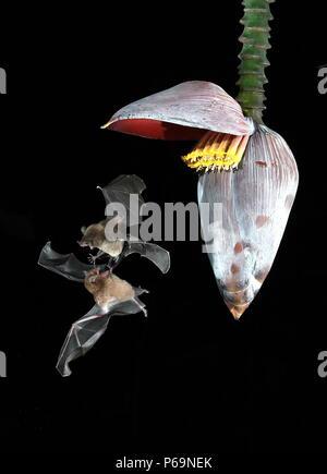 A duo of tent-making bats (Uroderma bilobatum) duels for night nectar - Stock Photo