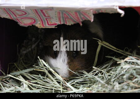 Guinea pig hiding in his cage at the Wildwood Nature Center in Park Ridge, Illinois. - Stock Photo