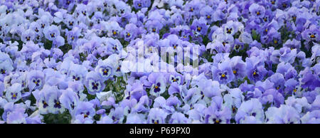 Close up blue and violet pansies in the garden. Seasonal natural photo . - Stock Photo