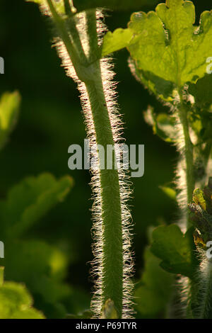 Chelidonium majus (Greater Celandine). Close up of stem and leaves - Stock Photo