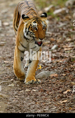 Bengal tiger, Panthera tigris in summer, staring at camera. Tigress walking on gravel, emerging from yellow grass, perfectly camouflaged. - Stock Photo
