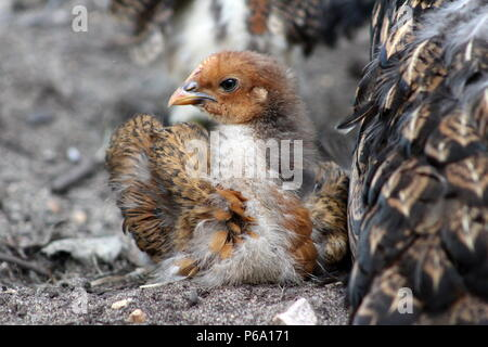 One Month Old Brown Chick Sits Next To Mother Hen - Stock Photo