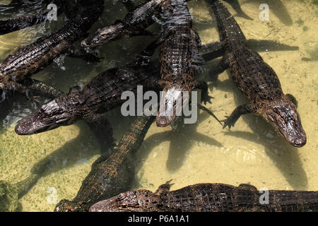 Close up shot of alligators floating on water - Stock Photo