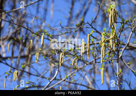 Yellow birch buds hang on branches in springtime . - Stock Photo