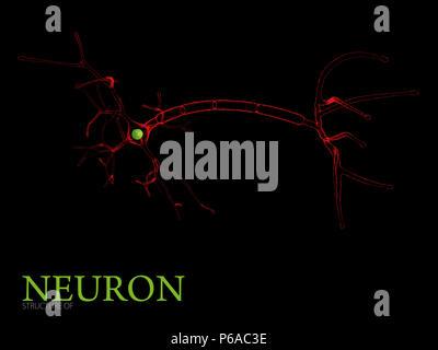 3d Illustration of Neuron anatomy, isolated black background - Stock Photo