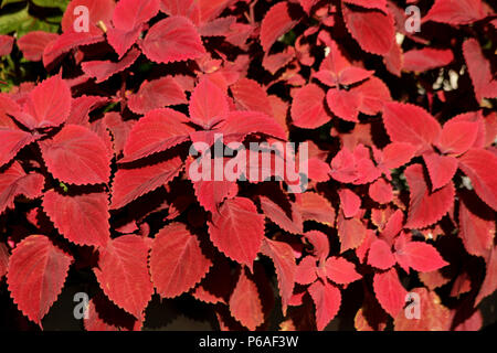 Close-up of red Coleus Blumei leaves - Stock Photo