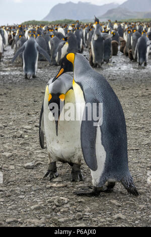 Two adult King Penguins in a courtship or preening display, Salisbury Plain, South Georgia Island - Stock Photo