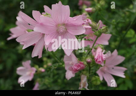 Malva alcea (Rosen-Malve) (Greater Musk-Mallow) - Stock Photo