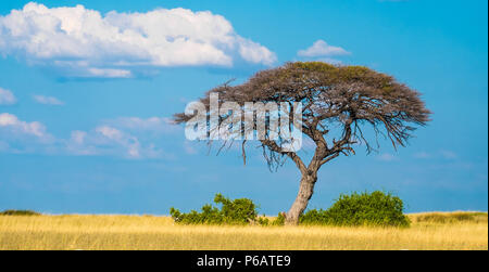 Single acacia tree growing in the sueda waterhole in the middle of endless arid grasslands, Halali, Etosha National Park, Namibia - Stock Photo