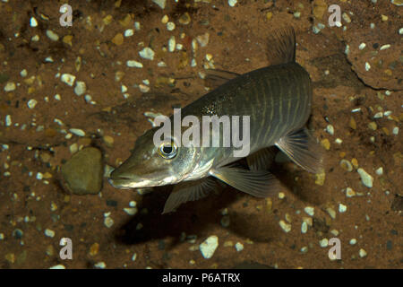 Pike (Esox lucius) - Stock Photo
