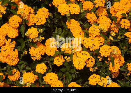 Lantana Camara flowers - Stock Photo