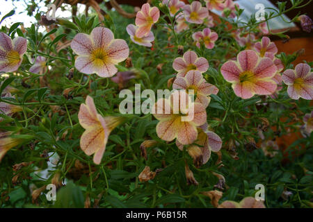 Close up of Million Bells- Calibrachoa flower - Stock Photo
