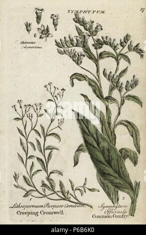 Creeping purple cromwell, Lithospermum purpurocaeruleum, and comfrey, Symphytum officinale. Handcoloured botanical copperplate engraving by an unknown artist from 'Culpeper's English Family Physician; or Medical Herbal Enlarged, with Several Hundred Additional Plants, Principally from Sir John Hill,' by Joshua Hamilton, London, W. Locke, 1792. - Stock Photo
