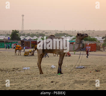 Jaisalmer, India - Nov 8, 2017. Camels on Thar Desert in Jaisalmer, India. Thar Desert is a large arid region in the northwestern part of the Indian. - Stock Photo