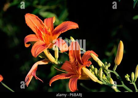 Flowers and blossoms of Orange lily (lilium Bulbiferum) - Stock Photo