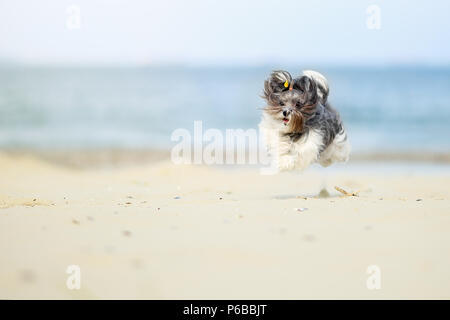 Adorable, happy black, grey and white Bichon Havanese dog running on the beach, caught in the air, on a bright sunny day. High speed action shot - Stock Photo