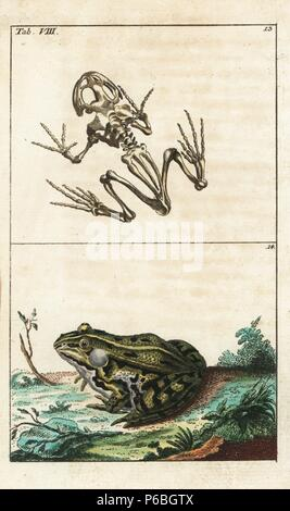 Skeleton of the tree frog, Hyla arborea 13, and edible frog, Pelophylax kl. esculentus. Handcolored copperplate engraving from G. T. Wilhelm's 'Encyclopedia of Natural History: Amphibia,' Augsburg, 1794. Gottlieb Tobias Wilhelm (1758-1811) was a Bavarian clergyman and naturalist known as the German Buffon. - Stock Photo