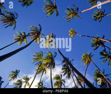 USA, Hawaii, Molokai, Kapuaiwa Coconut Grove, palms, - Stock Photo