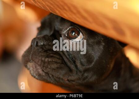 12 weeks old French Bulldog puppie hiding under a table - Stock Photo