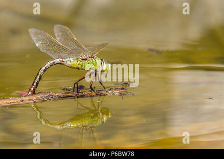 Female Emperor dragonfly laying eggs on floating debri in small man made pond a large dragonfly with green blue abdomen in femal with dark dorsal line - Stock Photo