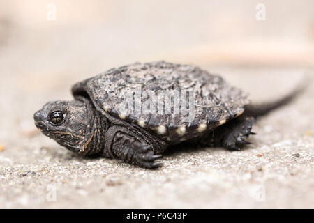 Baby Snapping Turtle - Stock Photo