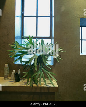 Close-up of staghorn fern on windowsill in modern bathroom with polished concrete walls - Stock Photo