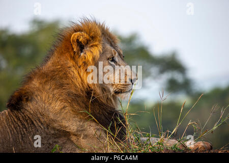 Close up headshot of male lion Panthera leo in the early morning sunlight - Stock Photo