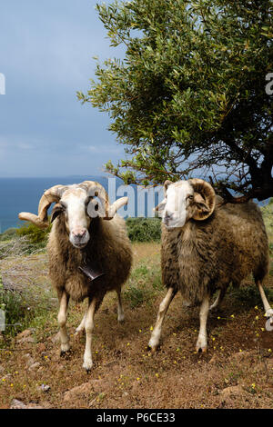 Two Male Greek Horned mountain sheep in his nature environment on the Mountains in the hills of Saronida, during early evening, East Attica, Greece. - Stock Photo