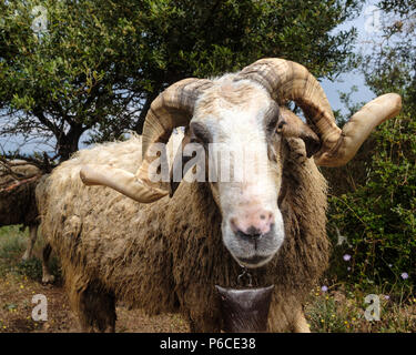 Male Greek Horned mountain sheep in his nature environment on the Mountains in the hills of Saronida, during early evening, East Attica, Greece. - Stock Photo