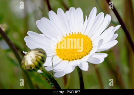 Oxeye Daisy (leucanthemum vulgare or chrysanthemum leucanthemum), also known as Dog Daisy or Marguerite, close up of a single flower head with bud. - Stock Photo
