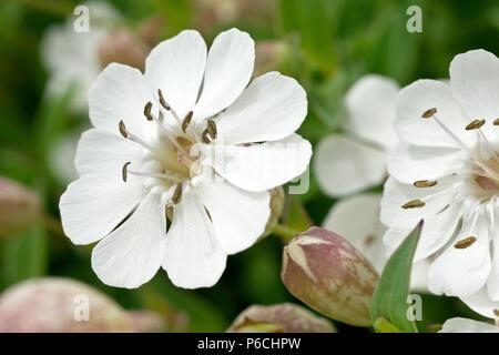 Sea Campion (silene vulgaris sub. maritima), close up of a single flower with bud. - Stock Photo