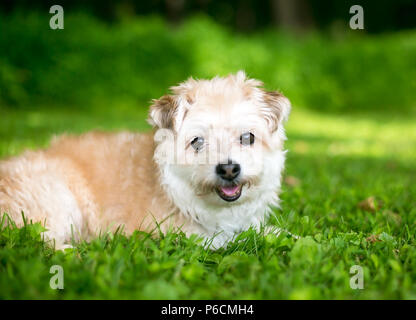 A cute Miniature Poodle / Pomeranian mixed breed dog lying in the grass - Stock Photo