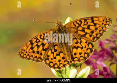 Dorsal view of a western meadow Fritillary butterfly, Boloria epithore, on the fresh buds of a wildflower in the Cascade Mountains of central Oregon - Stock Photo