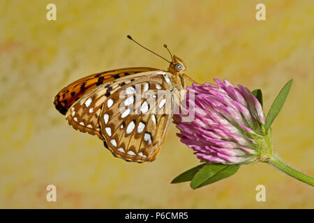 Portrait of a callippe fritillary butterfly, Speyeria callippe, on a wildflower in the Metolius basin of central Oregon. - Stock Photo
