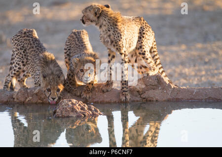 Cheetah Cubs drinking water from a Pond - Stock Photo