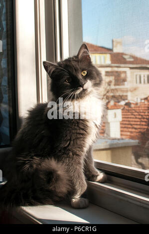 Young adorable gray cat sitting by open home window inside in sunny day - Stock Photo
