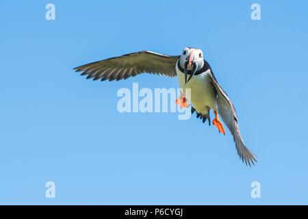 Puffin - Atlantic Puffin - flying with beak full of sand eels fish - Fratercula arctica - in flight, Isle of May, Scotland, UK - Stock Photo