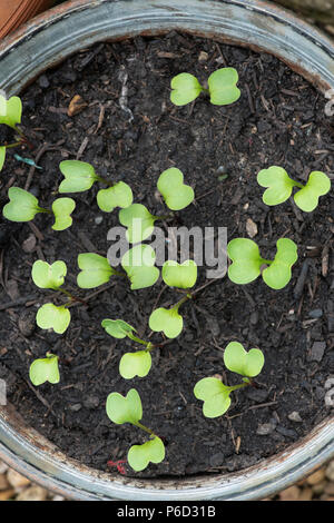 Raphanus sativus. Radish Bluemoon and Redmoon Mix F1 Hybrid seedlings in a tub from above. UK - Stock Photo