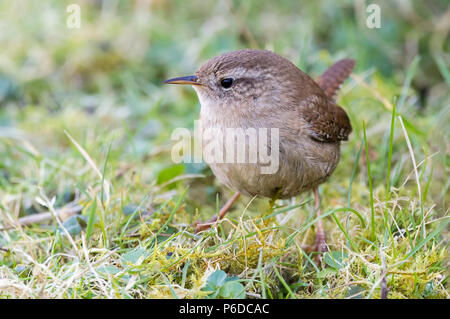 Wren (Troglodytes troglodytes) searching a swan enclosure for food. Small dumpy bird with long thin bill and small cocked tail. Pale stripe above eye. - Stock Photo