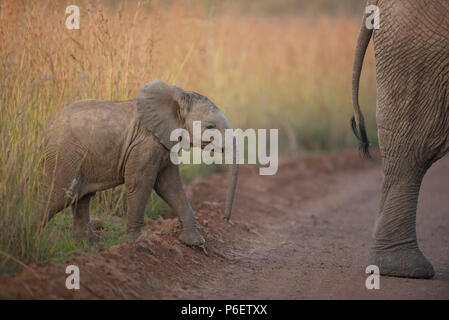 Elephant calf following her mother in the bush of Kruger wilderness - Stock Photo