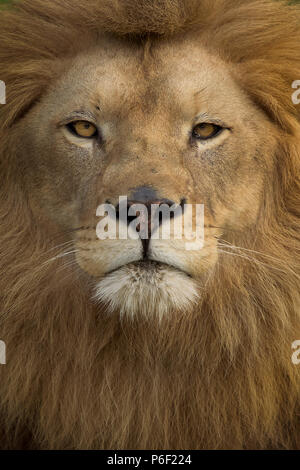 Wild male lion In Savanna - Stock Photo
