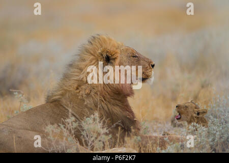 Male lion with his offspring in wilderness - Stock Photo
