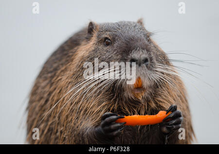 Eurasian beaver European beaver feeding portrait close up - Stock Photo