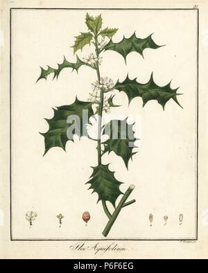Common holly, Ilex aquifolium. Handcoloured copperplate engraving by F. Guimpel from Dr. Friedrich Gottlob Hayne's Medical Botany, Berlin, 1822. Hayne (1763-1832) was a German botanist, apothecary and professor of pharmaceutical botany at Berlin University. - Stock Photo