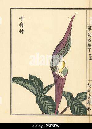 Yukimochisou or Japanese jack in the pulpit, Arisaema sikokianum. Handcoloured woodblock print by Kono Bairei from Kusa Bana Hyakushu (One Hundred Varieties of Flowers), Tokyo, Yamada, 1901. - Stock Photo