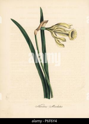 Wild daffodil, Narcissus moschatus. Handcoloured zincograph by C. Chabot drawn by Miss M. A. Burnett from her 'Plantae Utiliores: or Illustrations of Useful Plants,' Whittaker, London, 1842. Miss Burnett drew the botanical illustrations, but the text was chiefly by her late brother, British botanist Gilbert Thomas Burnett (1800-1835). - Stock Photo